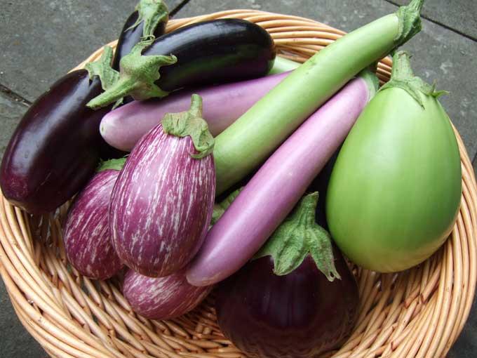 Comment et quand planter des aubergines