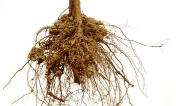comment tailler les racines d 39 un arbre. Black Bedroom Furniture Sets. Home Design Ideas