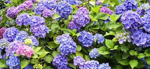 Comment planter et entretenir l 39 hortensia - Comment planter un hortensia ...