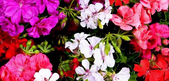 Comment cultiver le g ranium for Comment arroser les geraniums