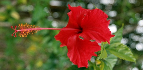 Comment cultiver l 39 hibiscus - Comment entretenir un hibiscus ...