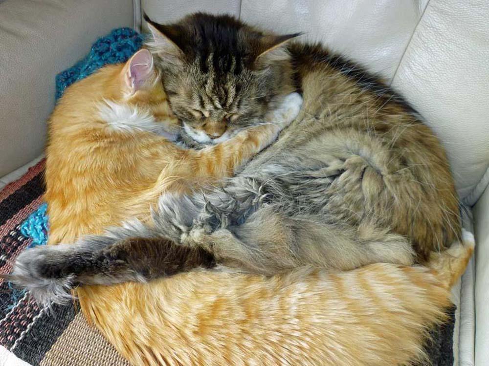 Chats qui dorment enlassés