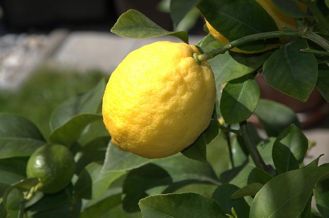 Faire pousser un citronnier chez soi on vous dit tout - Faire pousser citronnier ...
