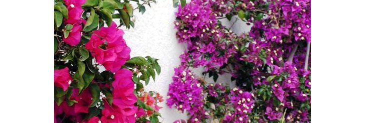 Comment cultiver le bougainvillier for Culture du bougainvillier en pot