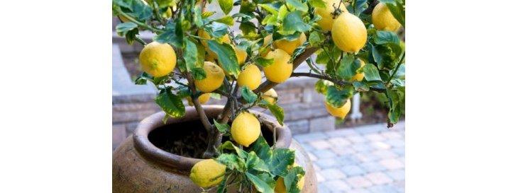 Comment cultiver un citronnier en pot for Comment entretenir un citronnier