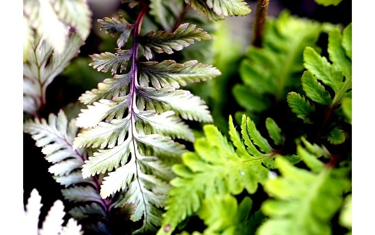 Comment planter l'athyrium ?