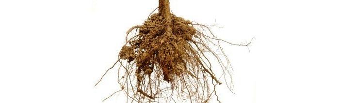 Comment tailler les racines d 39 un arbre - Comment tailler un erable ...