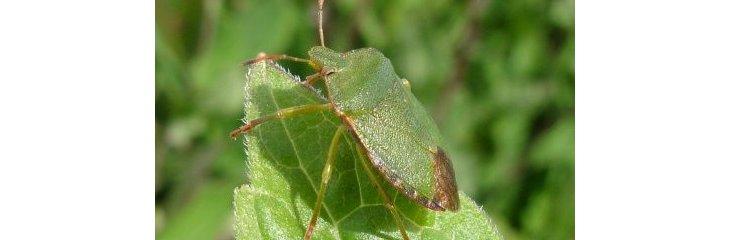 Comment combattre la punaise verte - Quelle huile essentielle contre les punaises de lit ...